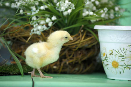 Easter chicken photo