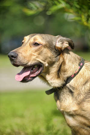 light brown crossbreed dog for a walk photo