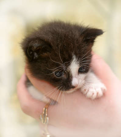 Black and white small kitten photo