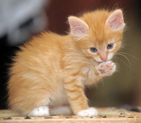 red kitten photo