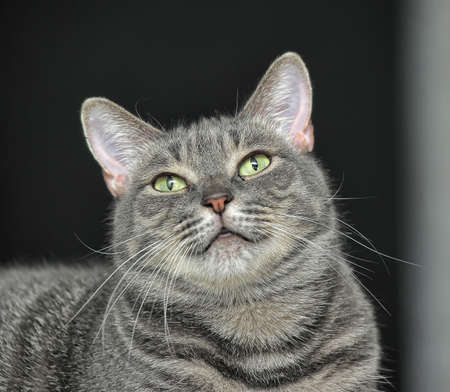 european shothair striped cat photo