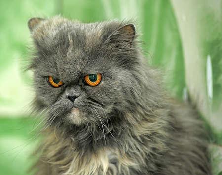 Grijze Perzische kat