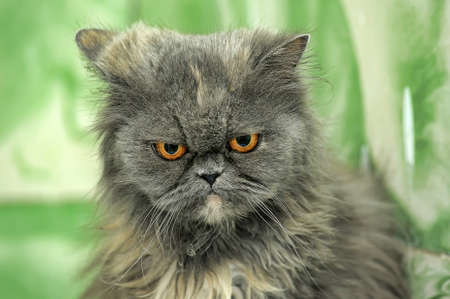 Gray Persian cat photo