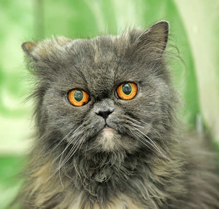 Gray Persian cat Stock Photo - 21478461