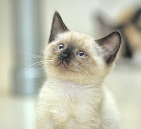 シャムの子猫