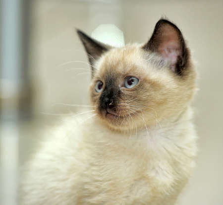 Siamese kitten photo