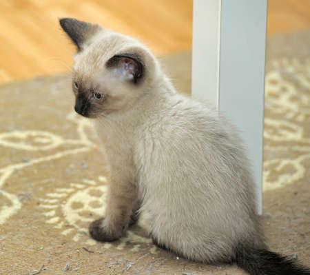 Siamese kitten photo