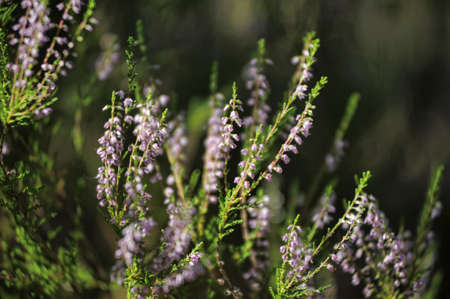 Blossoming heather photo
