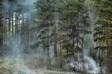 scots pine: coniferous forest in the smoke