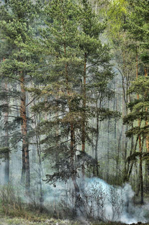 coniferous forest in the smoke photo