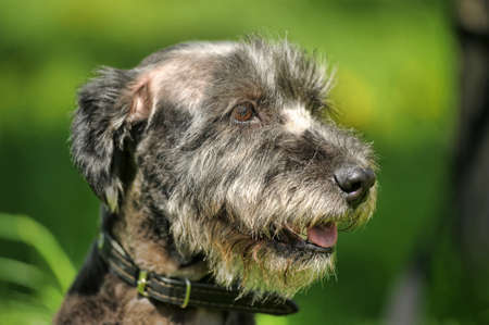 Terrier on a background of grass photo