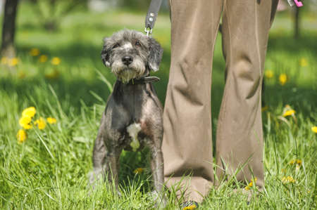 terrier for a walk with owner photo