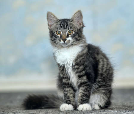 coon: Maine Coon cat, 4 months old Stock Photo
