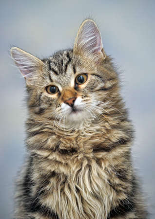 Maine Coon cat, 4 months old photo