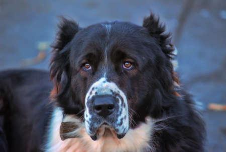 Black and white alabai dog
