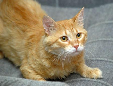 Ginger cat photo
