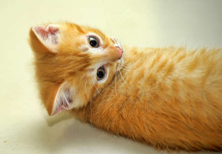 prying: wonderful ginger kitten