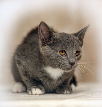 smooth-haired gray kitten photo