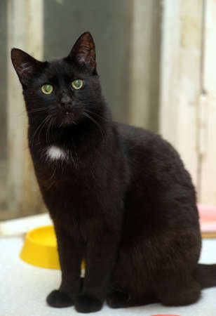 gazing: black with a white spot on the chest cat
