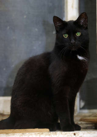 moggi: black with a white spot on the chest cat