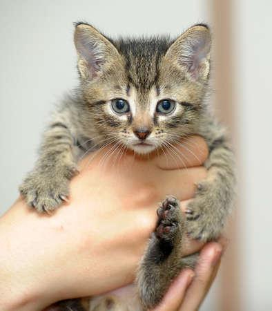 striped kitten in hand Stock Photo