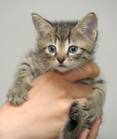 striped kitten in hand photo