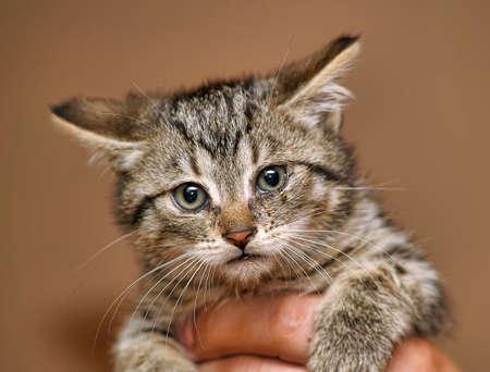 whiskar: striped kitten in hand Stock Photo