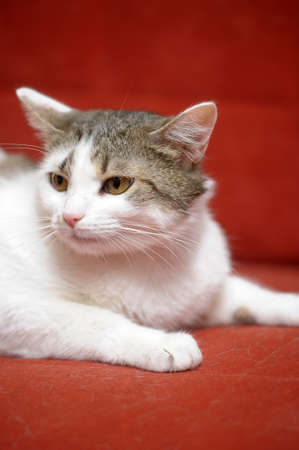 white with a gray cat on a red background