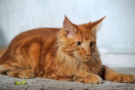 copper coated: Red classic tabby Maine Coon cat