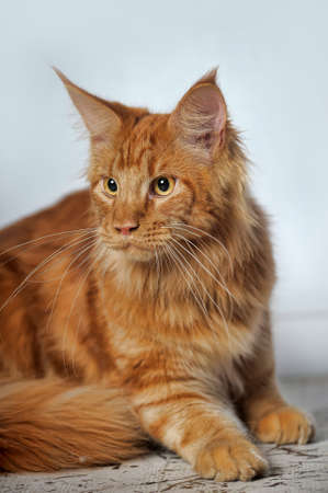 Red classic tabby Maine Coon cat photo