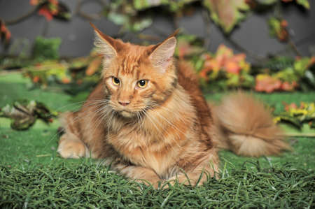 red Maine Coon photo