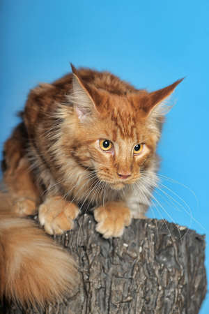 copper coated: red Maine Coon
