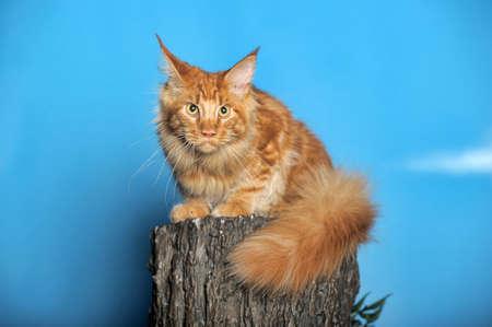 maine cat: Multicolor gato Maine en el fondo azul.