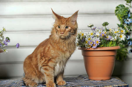 Young Coon next to a pot of flowers. photo