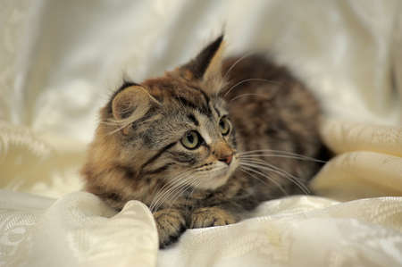 charming Siberian fluffy tabby kitten photo