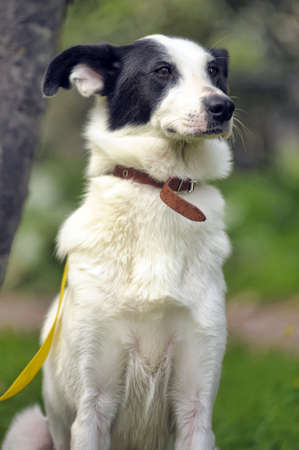 shepherd's companion: White dog with black spots on the nature