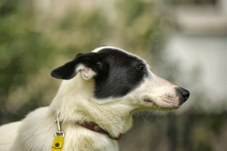 half blooded: White dog with black spots on the nature