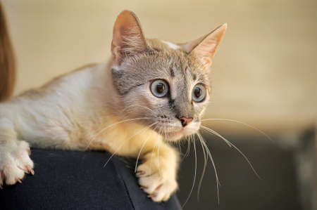 Thai cat portrait close-up on blurred background photo