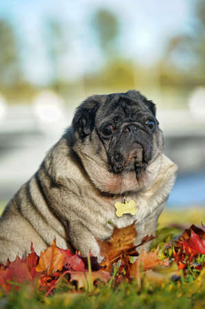 breeding ground: Pug dog sitting amongst autumn leaves