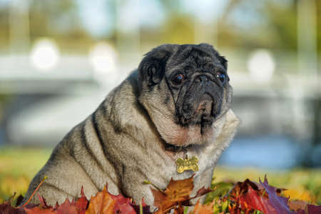 Pug dog sitting amongst autumn leaves photo