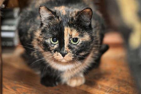 tortoiseshell: Tortoiseshell cat sits