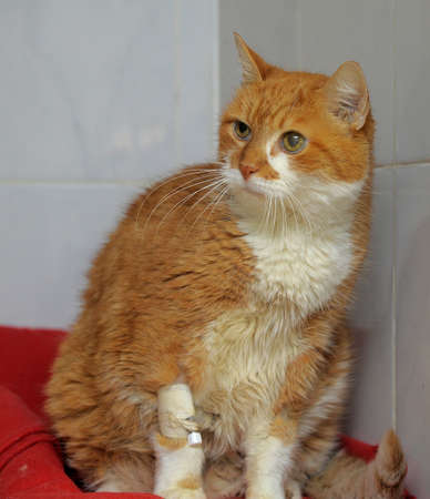 large cat with a catheter in the leg photo