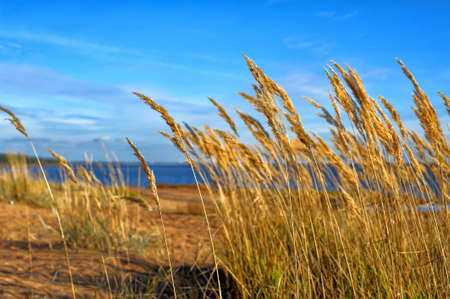 yellow grass on the beach photo
