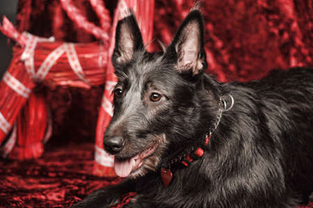 big black terrier on a red  photo