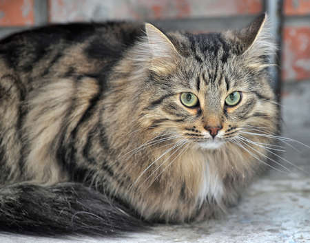 Russian beautiful fluffy cat