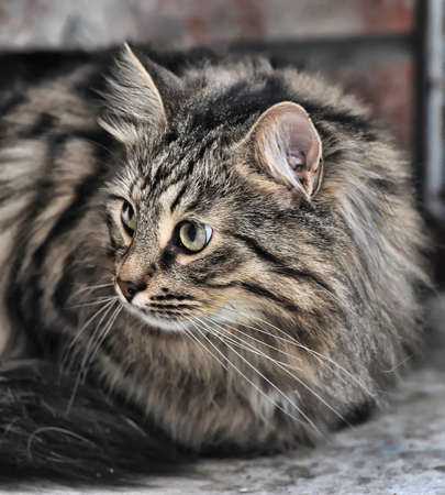 Russian beautiful fluffy cat photo