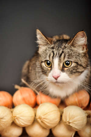 underlying: striped with a white chest and paws cat Stock Photo
