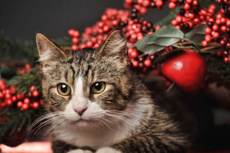 striped with a white chest and paws cat in the studio with Christmas berries photo