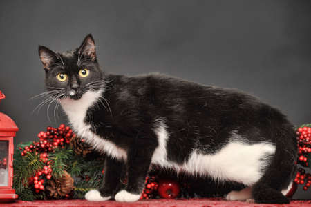 Black and white cat on a Christmas background photo
