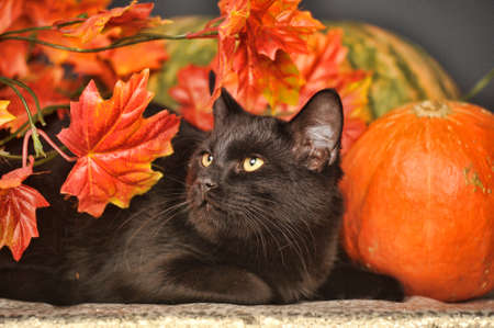 black cat among the autumn leaves near the pumpkin photo